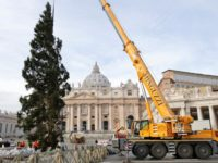 As Vatican Christmas tree goes up, popes Christmas schedule released